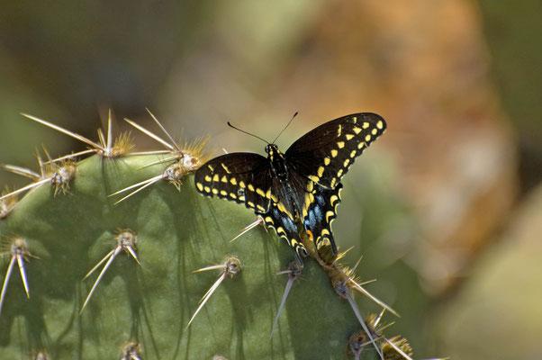 Schwarzer Schwalbenschwanz, Saguaro National Park (East)