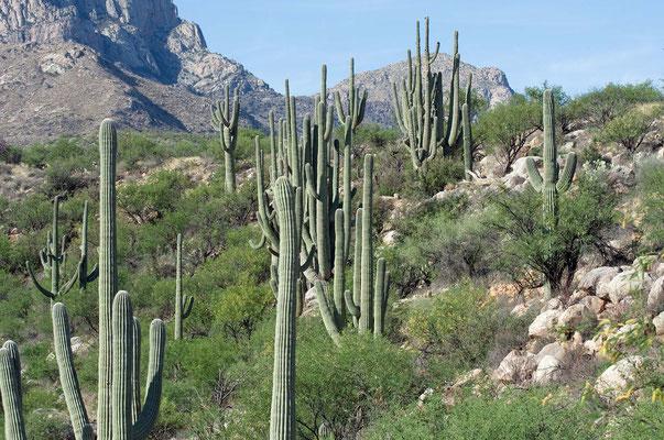 Saguaro Kakteen, Catalina State Park, Arizona
