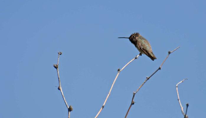 Magnificant Hummingbird, Catalina State Park, Arizona