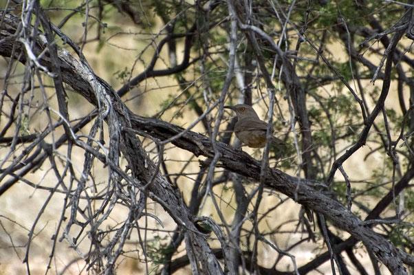 Krummschnabel-Spottdrossel, Catalina State Park