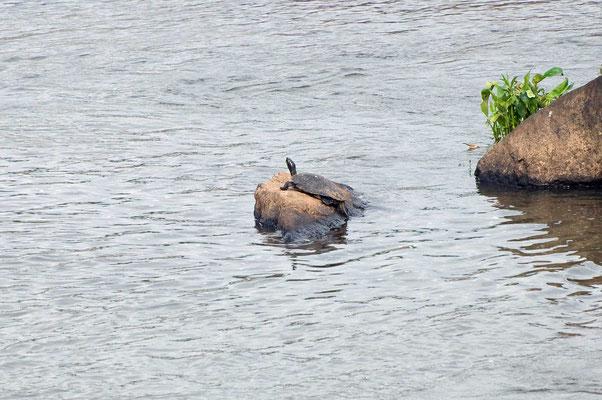 Florida-Schmuckschildkröte?, High Falls State Park