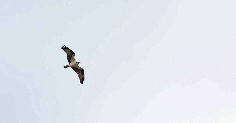Fischadler, vor der Abfahrt nach Astoria noch ein letzter Rundgang im Jantzen Beach RV-Park