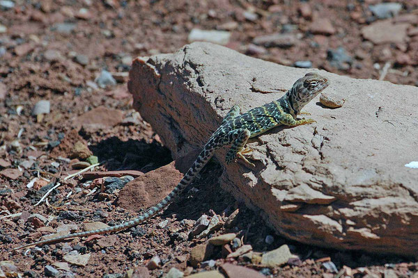 Lizard, Wupatki National Monument