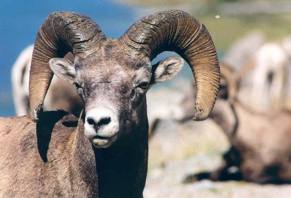 Bighorn sheep (Dickhornschaf), Medicine Lake
