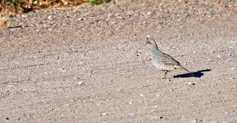 Schuppenwachte, Rockhound State Park, New Mexico