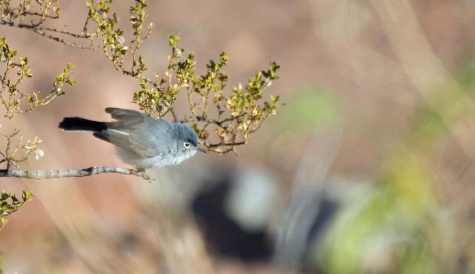 Blaumückenfänger, Rockhound State Park, New Mexico