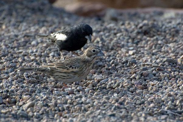 Prärieammer, vorn ♀, Rockhound State Park