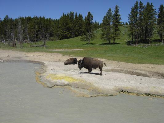 Büffel, Mud Volcano