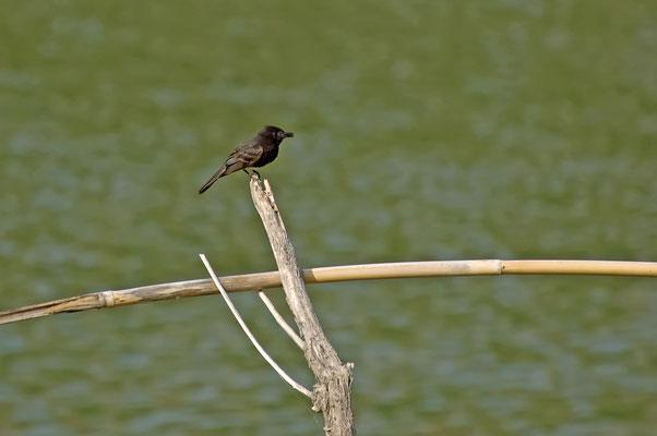 Schwarzkopf-Phoebetyrann, Rio Grande