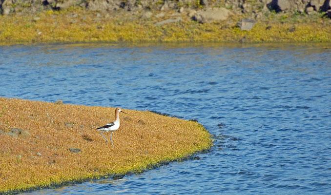 Braunhals-Säbelschnäbler, Salt Marsh (Corte Madera Wetlands)
