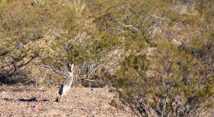 Kalifornischer Eselhase, Rockhound State Park, New Mexico