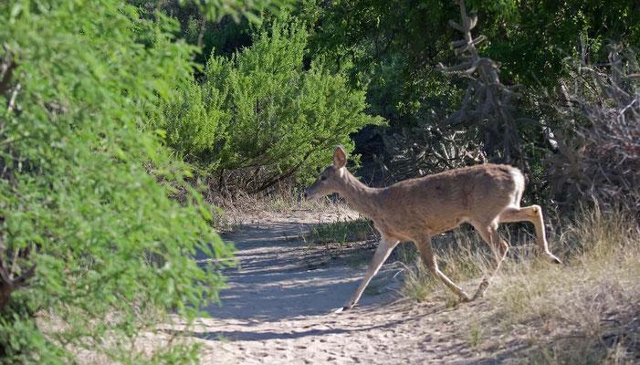 Maultierhirsch, Catalina State Park, Arizona