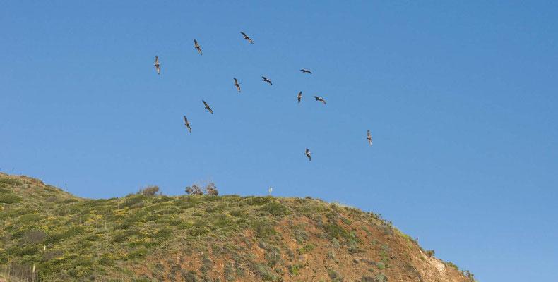 Braunpelikane, Point Mugu State Park, Malibu