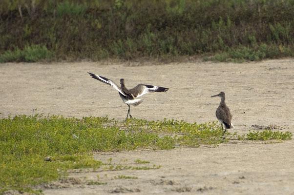 Schlammtreter, Goose Island State Park (Texas)