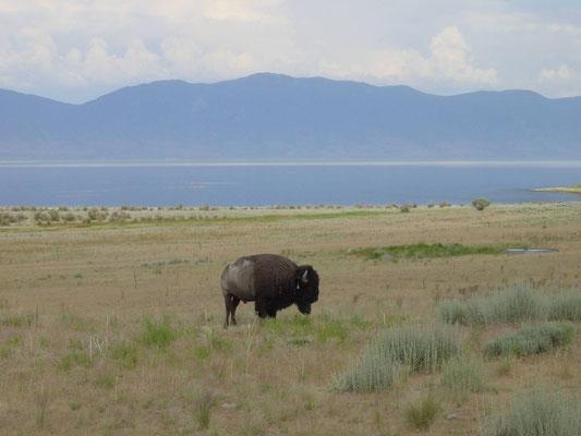 Büffel - Garr Ranch, Antelope Island
