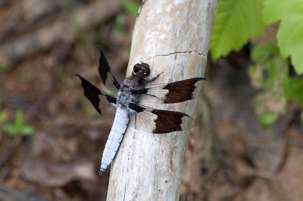 Segellibelle Common Whitetail Dragonfly (Libellula lydia) ♂, Hard Labor Creek State Park