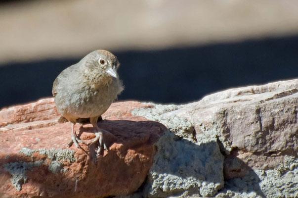 Braunrücken-Grundammer, Rockhound State Park, New Mexico