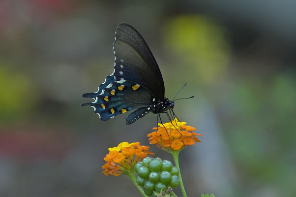 Pipevine Swallowtail, Goose Island State Park (Texas)