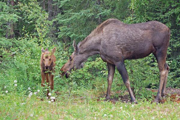 Elchkuh mit Jungem im Eagle River State Park