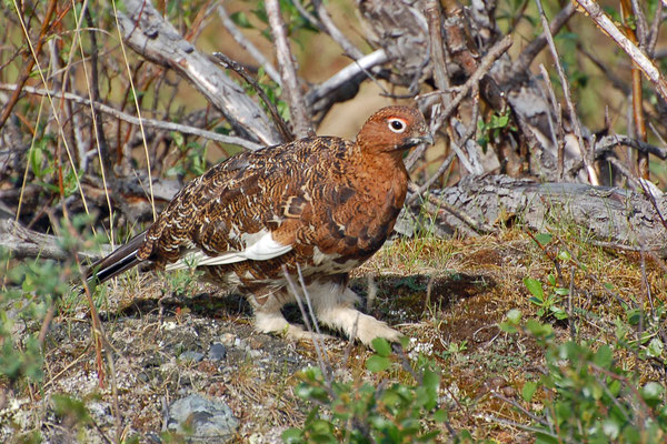 Alpenschneehuhn - Rock Ptarmigan