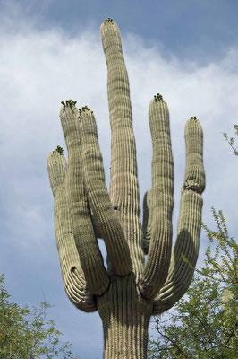 Carnegiea gigantea, Catalina State Park
