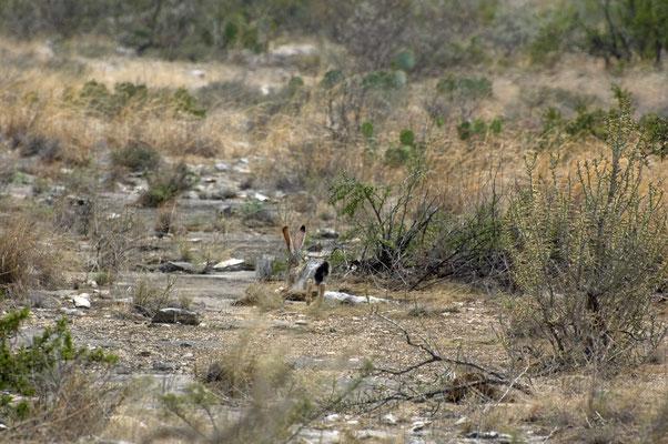 Kalifornischer Eselhase, Seminole Canyon State Park