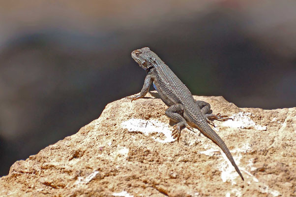 Lizard, Grand Canyon