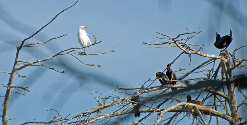 Silberreiher und Ohrenscharben, Morro Bay, California