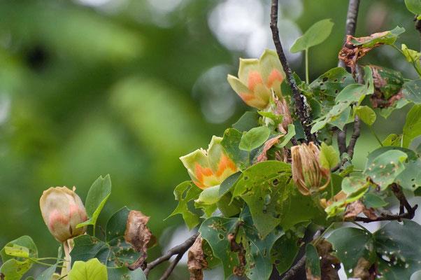 Tulpenbaum, Unicoi State Park