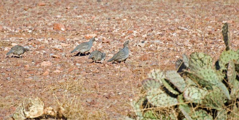 Schuppenwachten, Rockhound State Park, New Mexico