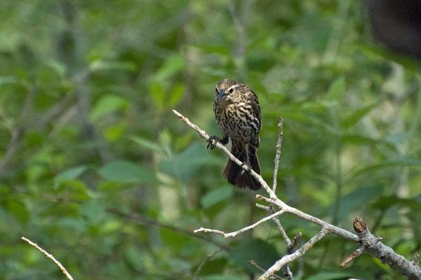 Rotschulterstärling ♀, Goose Island State Park (Texas)