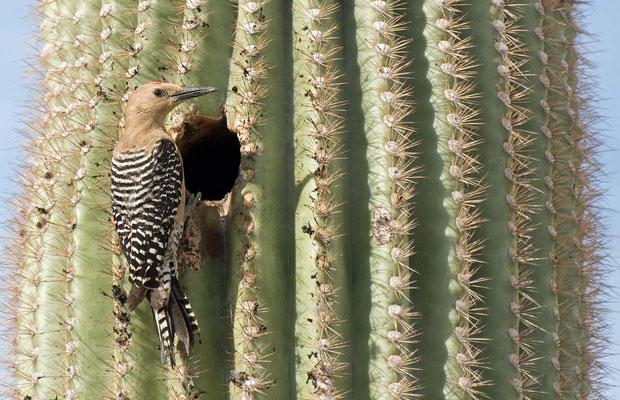 Gilaspecht ♂, Tra-Tel RV Park, Tucson, Arizona