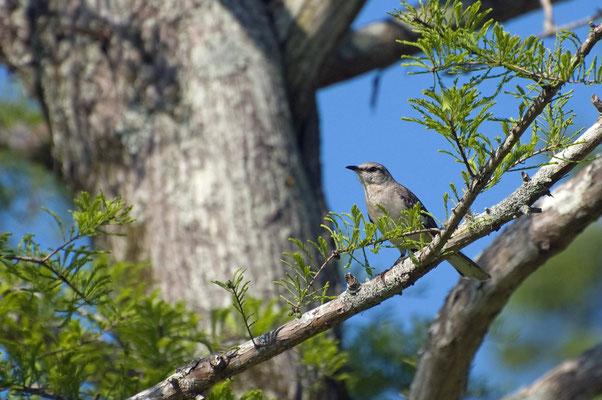 Mockingbird, Rastplatz Atchafalaya Willkommen Zentrum (Louisiana)