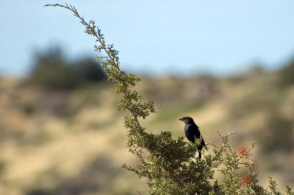 Braunkopf-Kuhstärling ♂, Rockhound State Park
