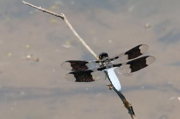 Common Whitetail Dragonfly, Indian Springs State Park