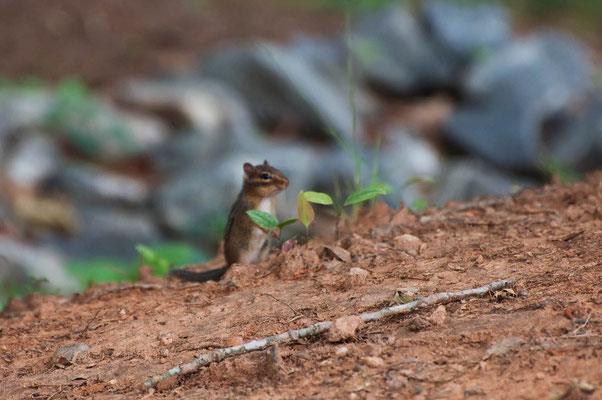 Streifenhörnchen, High Falls State Park