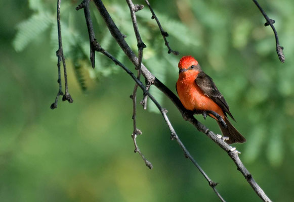 Rubintyrann ♂, Catalina State Park, Arizona