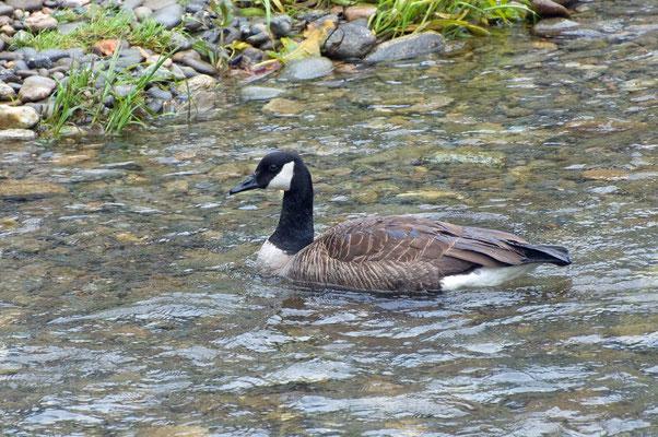 Kanadagans,  nahe Visitor Center des Great Smoky Mountains National Parks