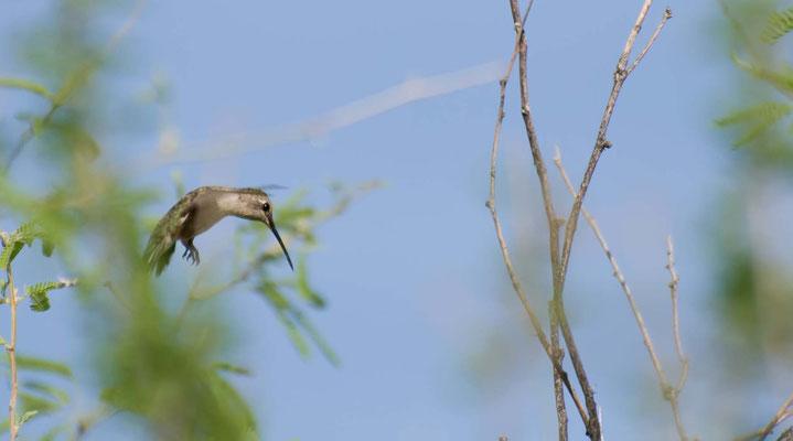 Schwarzkinnkolibri, Catalina State Park, Arizona
