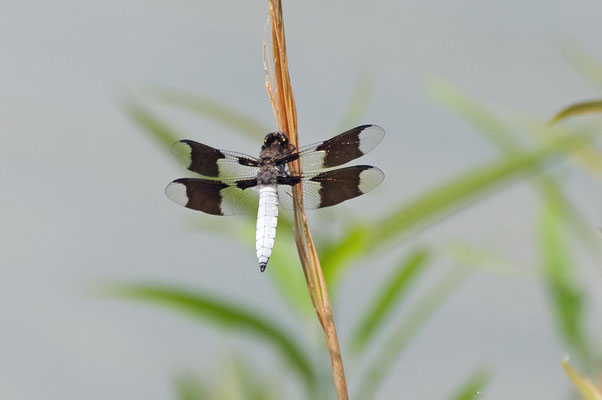 Common Whitetail Dragonfly, Charlie Elliott Wildlife Refuge