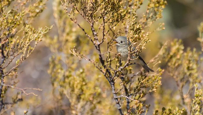 Goldwaldsänger ♀ im 1. Jahr, Rockhound State Park, New Mexico