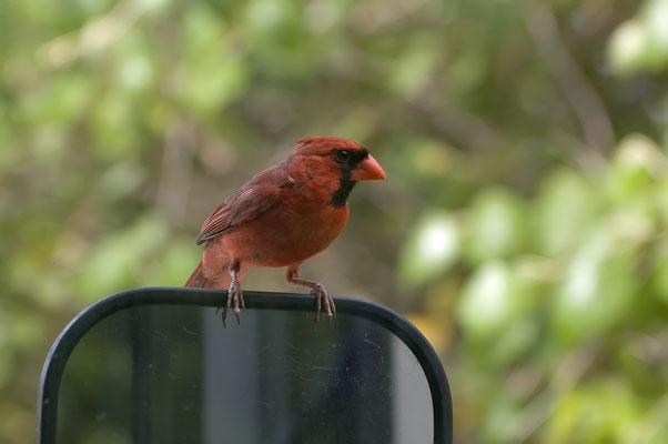 Dieser Rote Kardinal führte immer wieder lange Kämpfe mit seinem Spiegelbild, Goose Island State Park (Texas)
