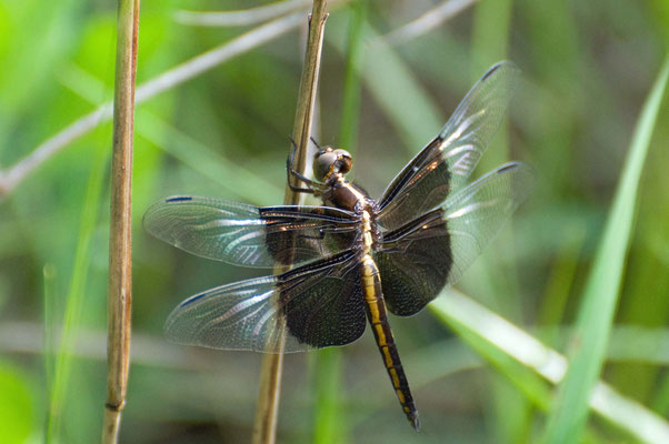 Widow Skimmer Dragonfly, Charlie Elliott Wildlife Refuge