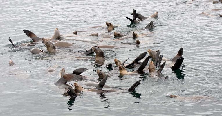 Kalifornische Seelöwen, Fisherman's Warf, Monterey, California