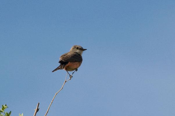 Rubintyrann ♀, Catalina State Park