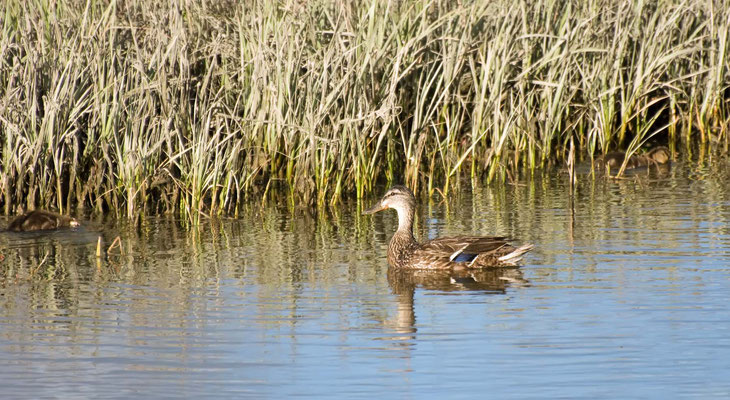 Stockente ♀, Salt Marsh (Corte Madera Wetlands)
