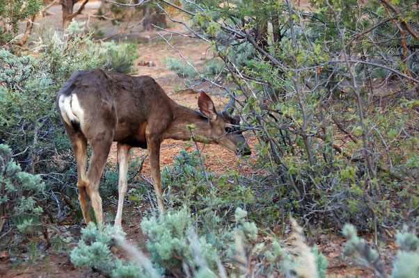 Wapiti ♀, Mather Campground in Grand Canyon Village