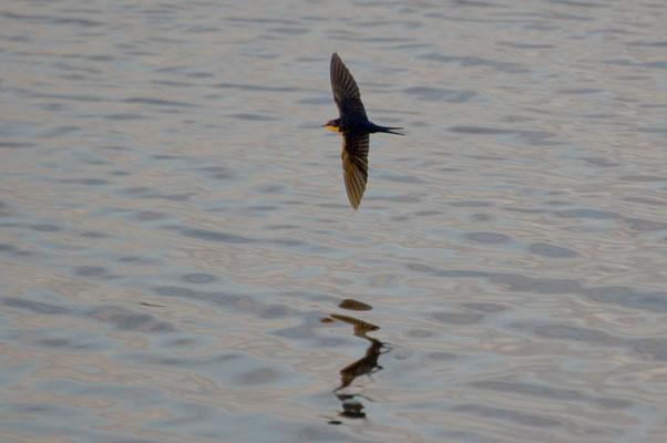 Rauchschwalbe, Three Rivers State Park (Florida)