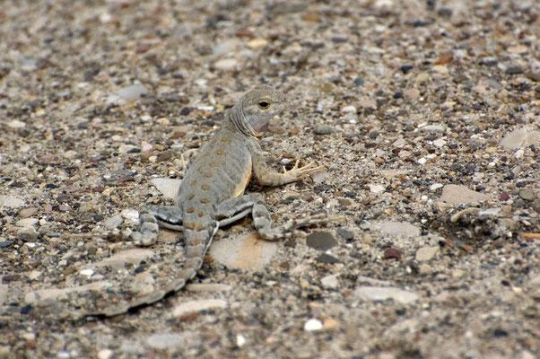 Lizard (Stachelleguan), Seminole Canyon State Park