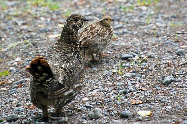 Tannenhühner